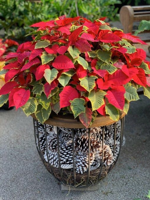 How To Care For Poinsettias Container Gardening Colorful Plants Poinsettia