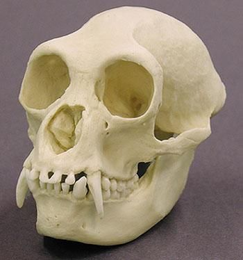 fanged humanoid skull - Google Search