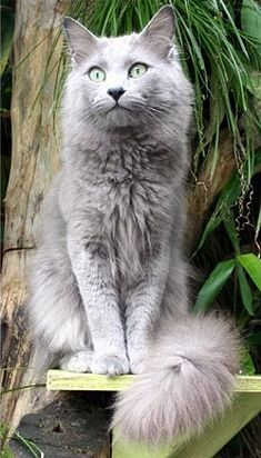 "How beautiful... Nebelung cat -- a rare American breed of cat.  Named for the German word for ""mist"" or ""fog."""