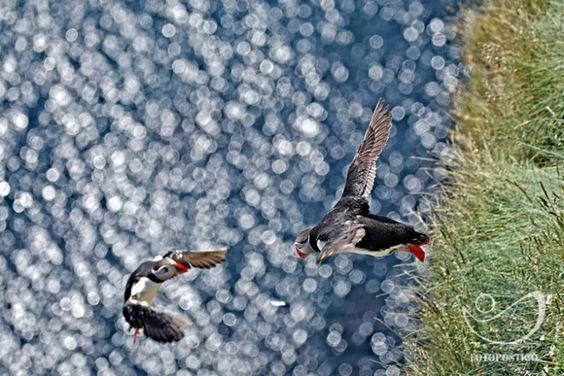 Puffin Island Bird Colorfull
