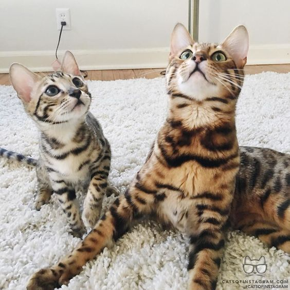 From @bingthebengal: Dude did you see that?! #catsofinstagram by cats_of_instagram