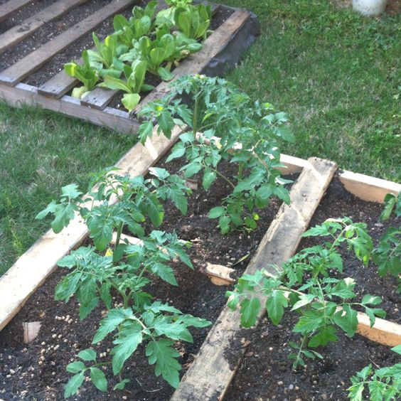 My tomato and lettuce pallet garden gardening outdoor for Gardening using pallets