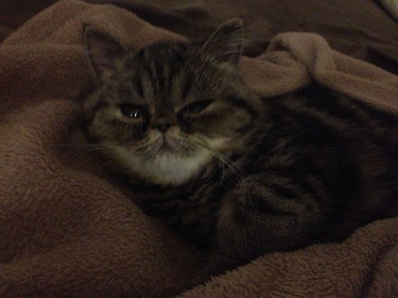 Cat Named Pants. Exotic Shorthair.