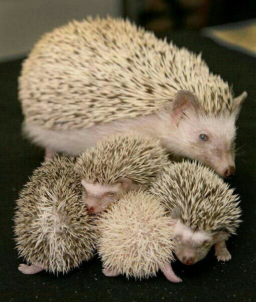 ~Momma and her Baby Hoglet's~