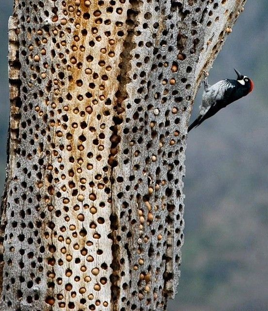Acorn woodpeckers (Melanerpes formicivorus) are the ultimate ...