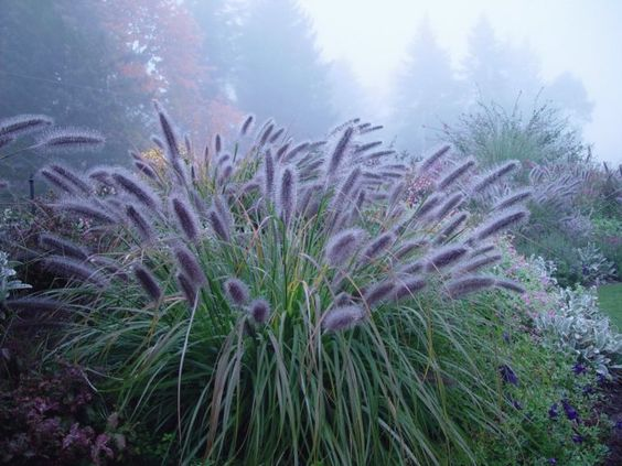 Pennisetum alpocuroides moudry tuin pinterest raised for Small ornamental grasses for sun