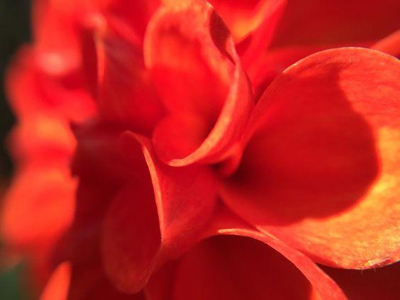 Orange petals on a dahlia taken close up. #macrophotography #macro #macro_freaks #macroworld #macro_perfection #macroworld_tr #petal #petals #orange #closeup #flowerstagram #flower #instanature #plants #instagood #garden #nofilter