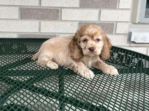 Puppies For Sale Cocker Spaniel American American Cocker Spaniels Cockers F Category In Napp Cocker Spaniel Puppies Puppies American Cocker Spaniel