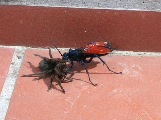 """7. Tarantula Hawk (Pepsis spp.)    Pain Rating: 4  """"Tarantula Hawk"""" refers to a number of related species of wasps all over the Americas that hunt spiders. The pain of their sting is the highest on Schmidt's scale, and he describes it as """"blinding, fierce, shockingly electric."""""""