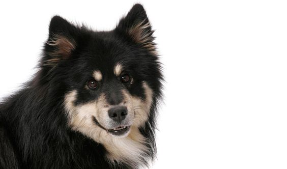 The Finnish Lapphund comes from the far north and is intolerant of heat. Keep him indoors on hot or humid days.