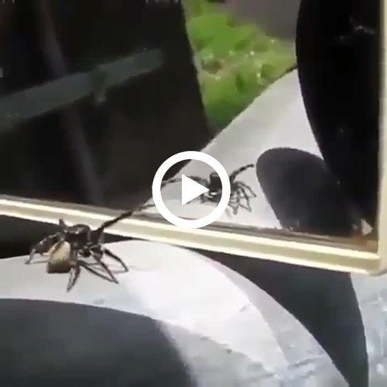 Olhe essa aranha dançando em frente ao espelho enquanto se admira