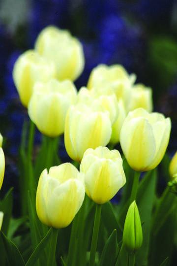 Organic Gardening Classes Near Me Id 4324533067 Organic Gardening Magazine Tulips Garden Tulips Flowers