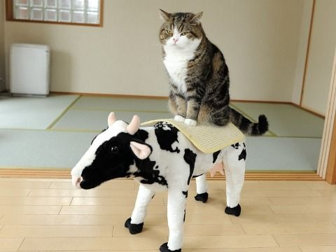cute maru sits on cow noble steed