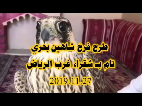 طرح فرخ شاهين بحري تام بـ شقراء غرب الرياض 2019 11 27 Youtube Falcon Hunting Falcons Hunting