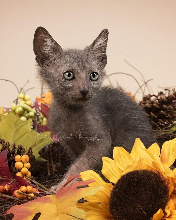 "Meet the Lykoi: An Odd New Breed of ""Werewolf"" Cats - My Modern Met"