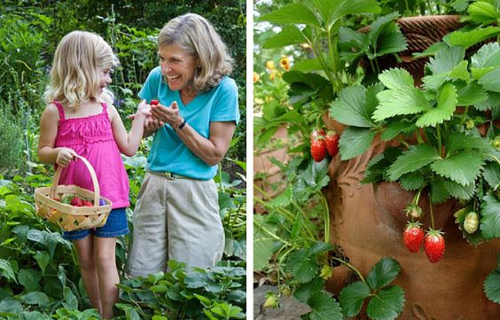 6 Crops for Kids to Plant (and Eat!) || Strawberries are easy-to-grow and a yummy, sweet summer treat!
