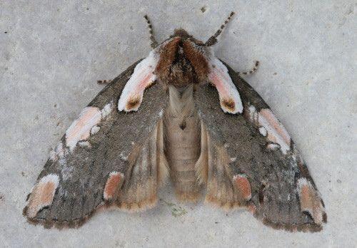 Euthyatira pudens