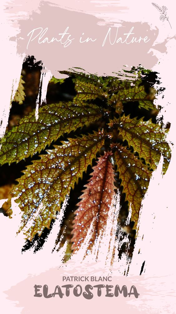 [Plants in Nature] Các loài thuộc chi Elatostema (chi Lô Hội) chụp trong tự nhiên (Patrick Blanc)