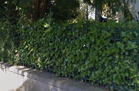 Feuilles de laurier - Bay leaves - Hojas de laurel