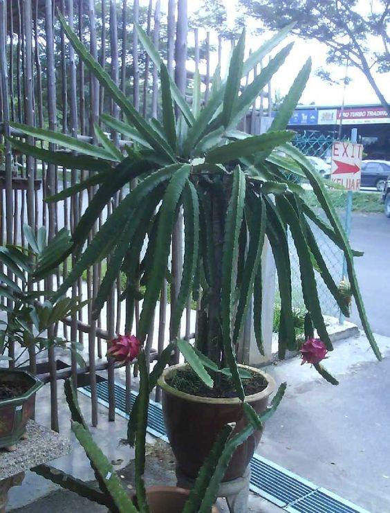 Grow dragon fruit, vine cuttings, grow pitaya, grow pitahaya, jungle cactus, photo