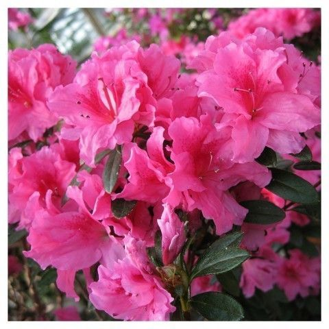 Cottage Hill Nursery Star Roses And Plants Floramore Azalea Pink 1 Piece 3 Quart Trade Gallon Repeat Blooming Blooming Plants Azaleas Hybrid Tea Roses
