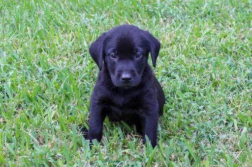 Litter Of Labrador Retriever Puppies For Sale In College Station Tx Usa Adn 92841 On Puppyfinder Labrador Retriever Labrador Retriever Puppies Lab Puppies
