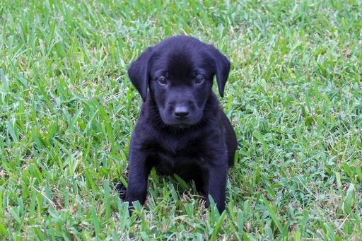 Litter Of Labrador Retriever Puppies For Sale In College Station Tx Usa Adn 92841 On Puppyfinder Com Gender Labrador Retriever Puppies For Sale Lab Puppies