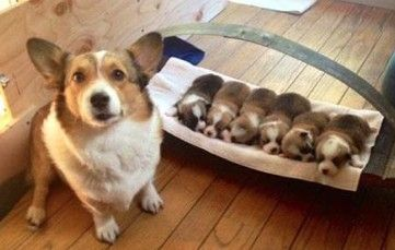 Corgi babies!
