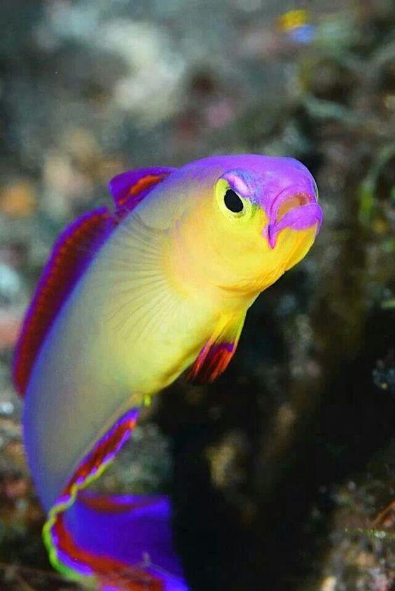 Gobie A Feu Violet Beautiful Sea Creatures Ocean Animals Colorful Fish