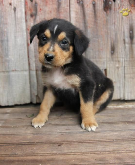Casper Bernese Mountain Dog Mix Puppy For Sale In Loysville Pa Lancaster Puppies Dog Mixes Puppies