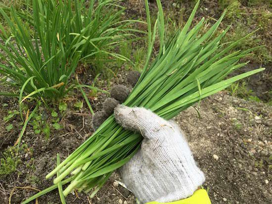 ニラの栽培方法 育て方のコツ 栽培 ニラ 栽培 野菜作り