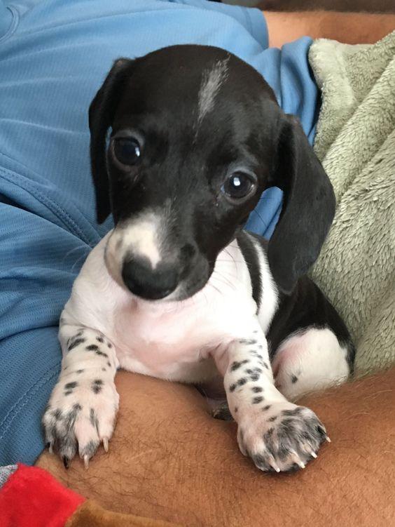 just pure cuteness #dachshund