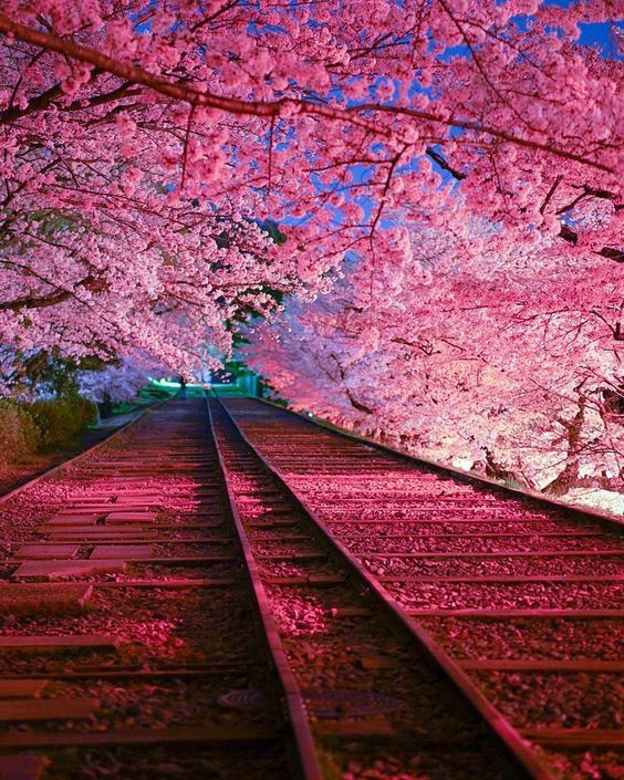 Best Places To Experience The Cherry Blossoms In Japan The Creative Adventurer Cherry Blossom Japan Cherry Blossom Wallpaper Nature Photography