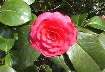 Camelia, Camelio común  Camellia japonica
