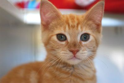 Handsome and stately orange tabby. Looks almost presidential, wouldn't you say? Kittens for President!