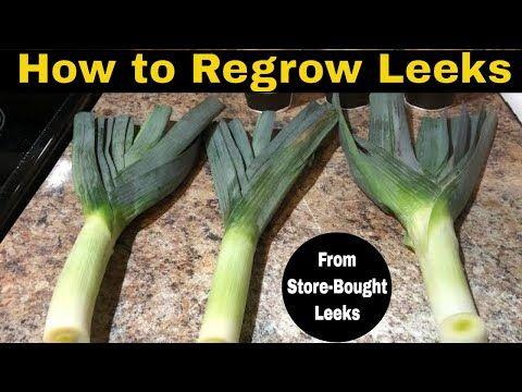 174 How To Regrow Leeks From Store Bought Leeks Youtube Growing Leeks Leeks Seed Starting