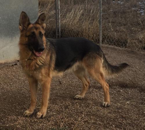 Adopt Notcho On German Shepherd Rescue German Shepherd Dogs Dogs