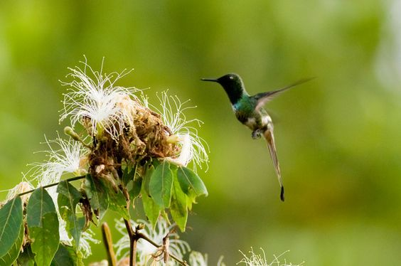 Foto bandeirinha (Discosura longicaudus) por Marlos Menêzes | Wiki Aves - A Enciclopédia das Aves do Brasil