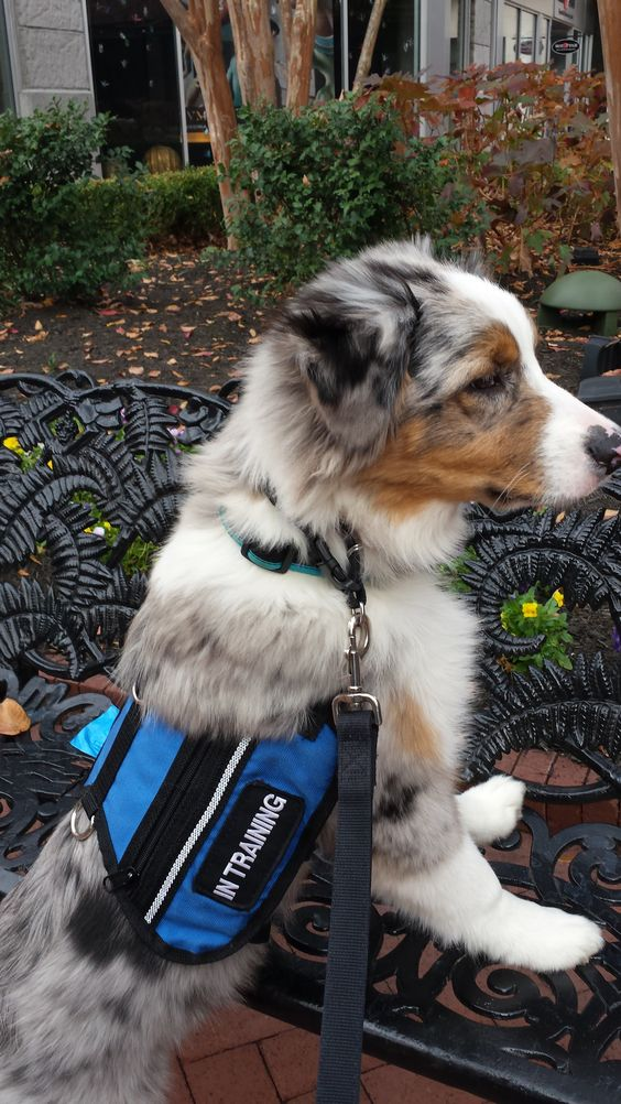 """Aussie puppy, Astro, is in training to become a psychiatric service dog. This is public access training at the mall. Good """"paws up"""" Astro!"""