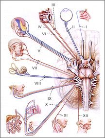 Clinical Neurophysiology: EMG/Cranial_Nerves.  Pinned by SOS Inc. Resources @sostherapy http://pinterest.com/sostherapy.