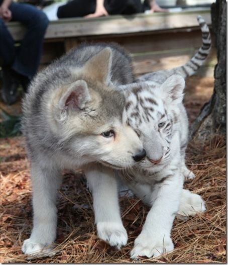 Wolf pup and tiger