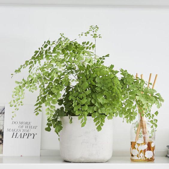 Maidenhair fern — Plants | Patch