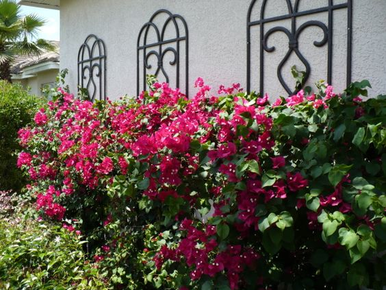 Trellis and Bougainvilleas By Robert , Wall trellis attached and four weeks after I installed the bougainvilleas on my clients home., Garden...