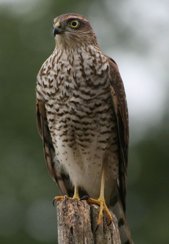 sparrow hawk bird of prey | ... register home bird photography birds of prey and owls photo options