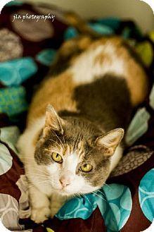 Baton Rouge, LA - Domestic Shorthair. Meet Daisy, a cat for adoption. http://www.adoptapet.com/pet/8071145-baton-rouge-louisiana-cat