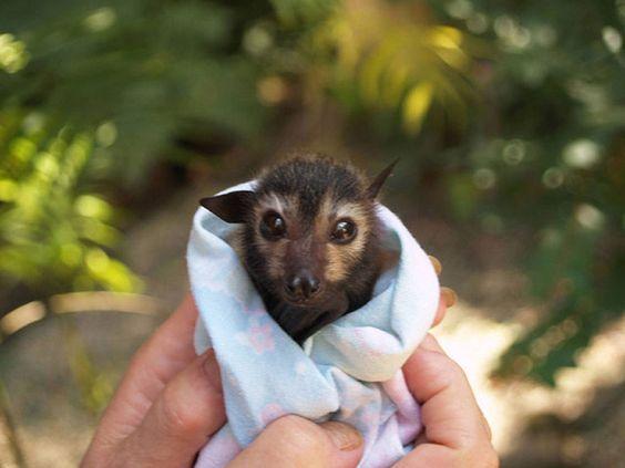 Resultado de imagem para morcego mamadeira