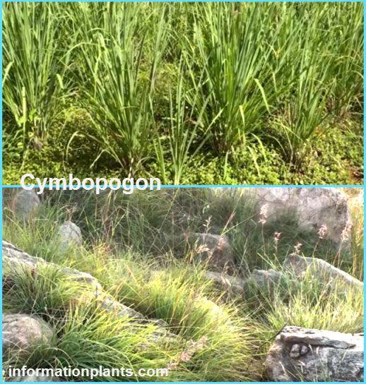 انواع الاذخر الليمونية Cymbopogon قوائم النبات قوائم النبات معلومان عامه معلوماتية نبات حيوان اسماك فوائد Plants