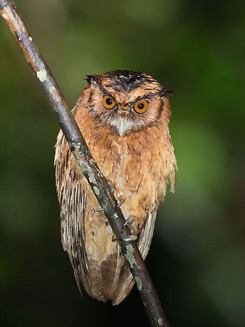 Foto corujinha-relógio (Megascops usta) por Sergio Gregorio | Wiki Aves - A Enciclopédia das Aves do Brasil