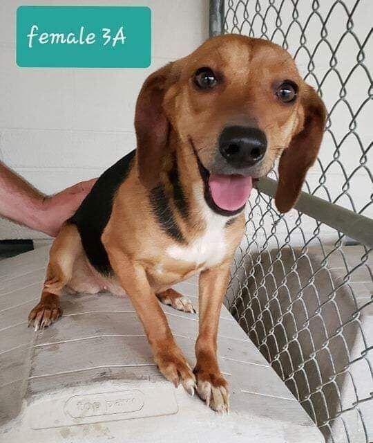 Adopt Bree On Adoptable Beagle Beagle Breeds Pet Finder