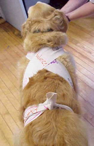 DIY Anxiety wrap for your dogs with an Ace wrap  great! Anxiety vest = $65, Ace wrap = $2.  And how to use it.